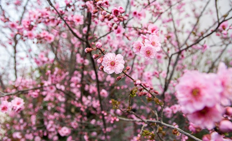 plum blossom season in japan